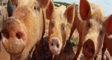 USDA Statement on Confirmation of African Swine Fever in Haiti