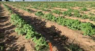 Getting Texas into the Organic Crop Breeding Game