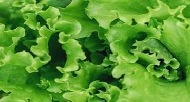 Lettuce Bacterial Leaf Spot