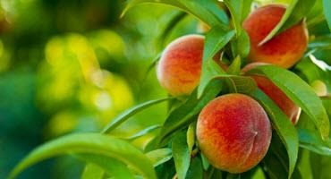 Funding tender fruit replant in Niagara