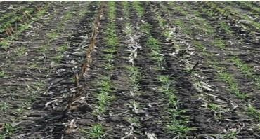 To Seed or Not to Seed a Cereal Rye Cover Crop Yet this Fall