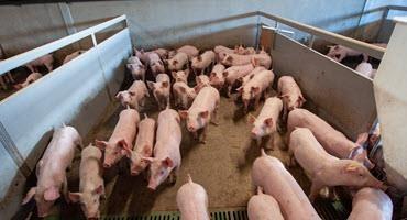 A bullish third quarter for U.S. pork