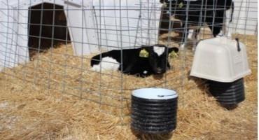 Winter Ventilation for Calves