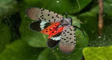Invasive Spotted Lanternfly Could Weaken Midwest Crops and Trees