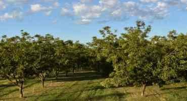 Assessing Western Drought Conditions – New Mexico Pecan Producers Beating the Odds with Irrigation Innovation