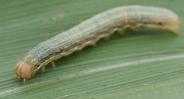 Fall Armyworm: Keep Looking