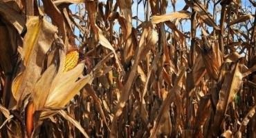 Warmer Temperatures May Decrease Yields of Densely Planted Corn