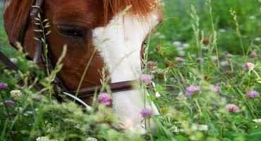 A Guide to Grazing Cover Crops in Cropland