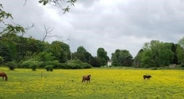 Buttercup Control: Spray Now or Early Spring?