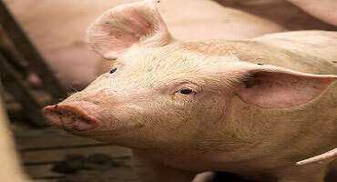 United States Hog Inventory Down 4%