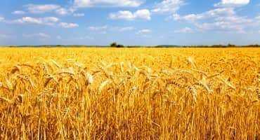 Wide-Row Wheat Management