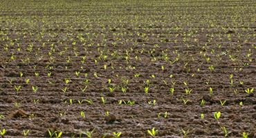 Corn emergence