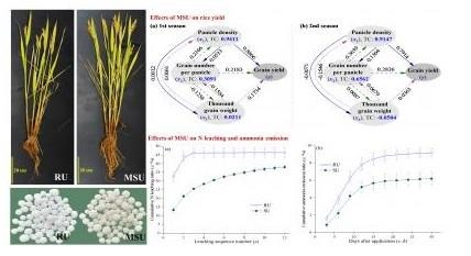 improved rice growth