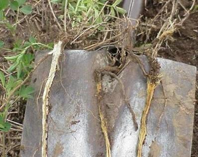 healthy alfalfa taproot