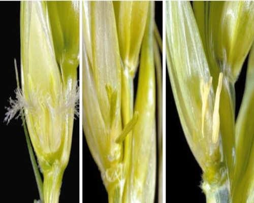 Healthy wheat anthers