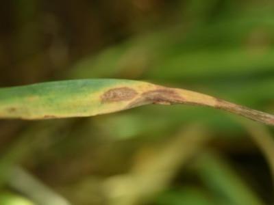 Septoria tritici blotch