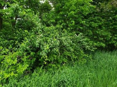Amur honeysuckle bush