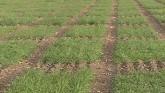 Wheat Hybridization