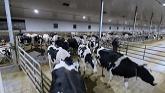 Holsteins Not The Best Moms?