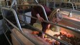 Sow husbandry – indoor breeding