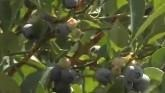 Blueberry Crops Impacted by Late Sea...