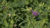 Managing Pests in Alfalfa
