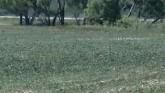 SD Soybean Crop Deteriorates with He...