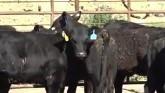 Heat Stress On Cattle