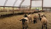 Sheep Farming: Setting Up Breeding Groups
