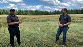 Grain Kernels features Gerrit Schober talking about downed wheat in Elmvale, Ontario.