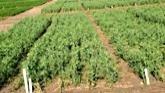 Effects of Zinc Fertilization to Saf...