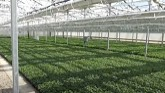 Strawberry young plants ready to shi...