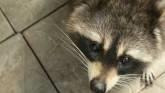 Officials Battle Rabies in Wildlife