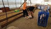 Learning to Shear Sheep!!!
