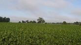 How Does A Soybean Plant Grow?