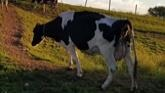 Valleyside Holsteins- Open Farm Day 2021