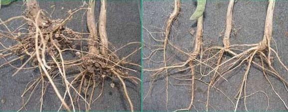 Well-nodulated soybean plants