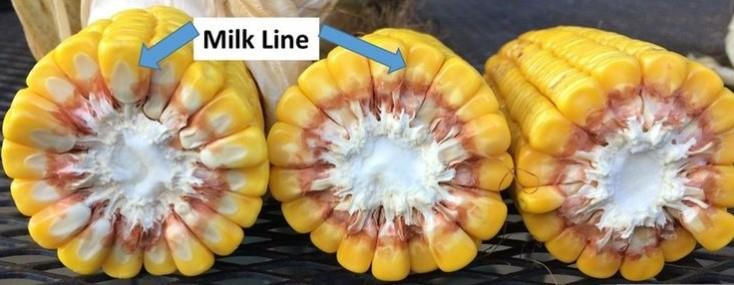In corn, an irrigated field should be maintained at greater than 50% soil moisture until the milk line disappears and the black layer forms on corn kernel. Photo by Lyndon Kelley, MSU Extension.