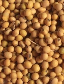 Soybeans, when made into soybean meal, are one of the most common sources of protein in concentrates. Photo Credit: Andrea Kocher, Penn State.