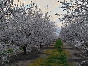 A row of flowering almond trees in the Sacramento Valley. Credit: Thomas Harter