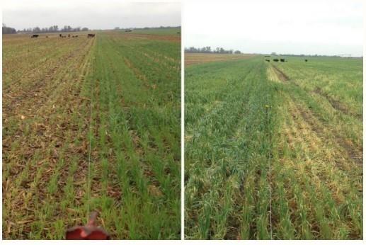 Cover crop in field comparison