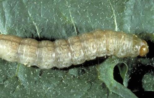 White caterpillar with tan head.