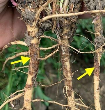 Alfalfa root injury