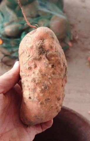 nematicide-efficacy-for-managing-southern-root-knot-nematodes-in-sweetpotato