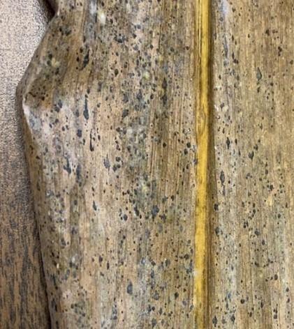 tar-spot-a-new-corn-disease-for-pennsylvania