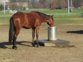 Horse drinking water from automatic waterer. Photo credit: Danielle Smarsh, Penn State.