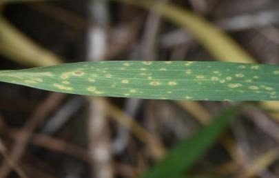 Figure 2. A fungal leaf spot disease (Septoria or tan spot) in its initial stages of development in a state variety trial in Jefferson County on May 5.