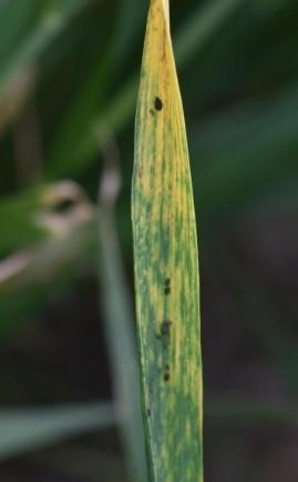 Barley yellow dwarf on wheat