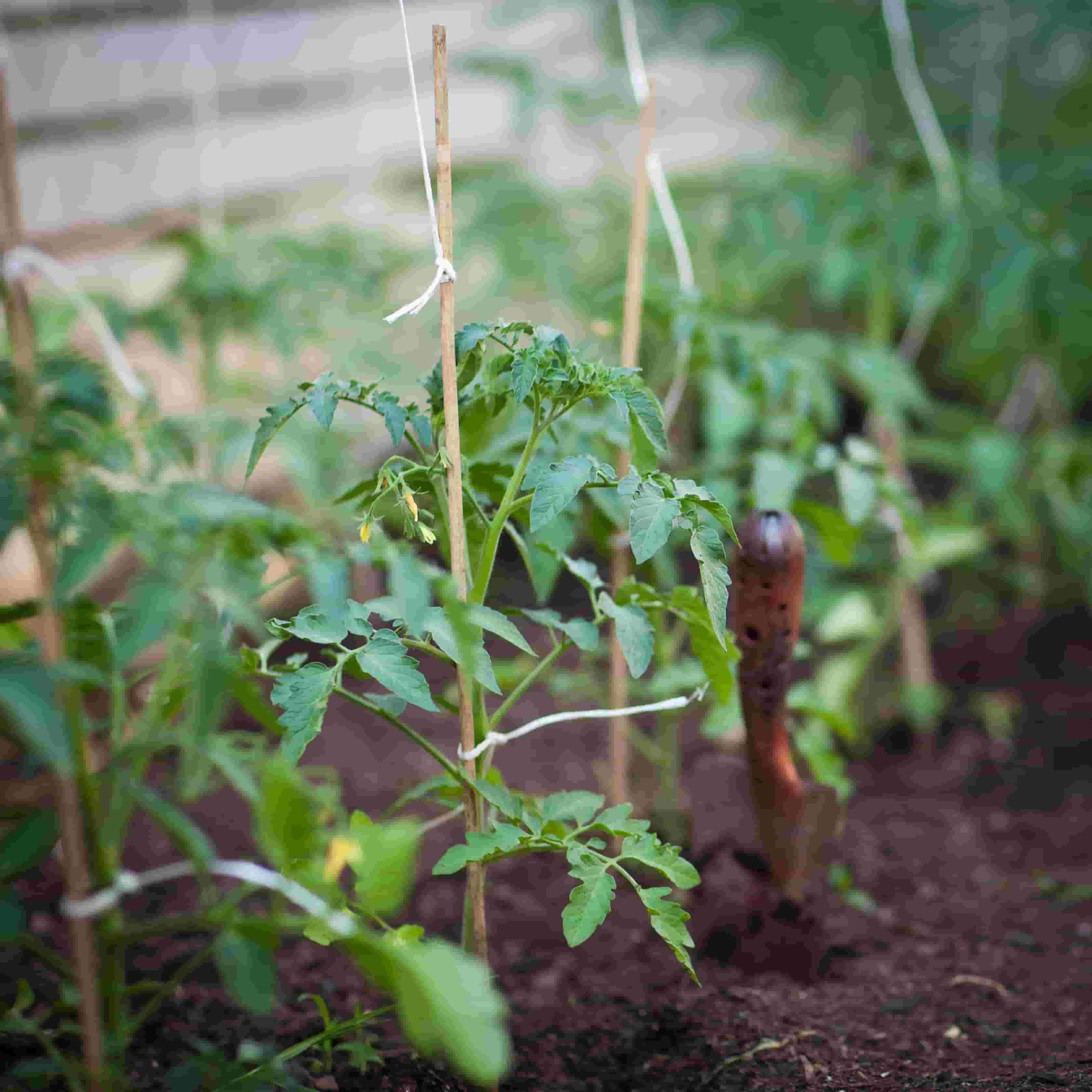 Small vegetables plants