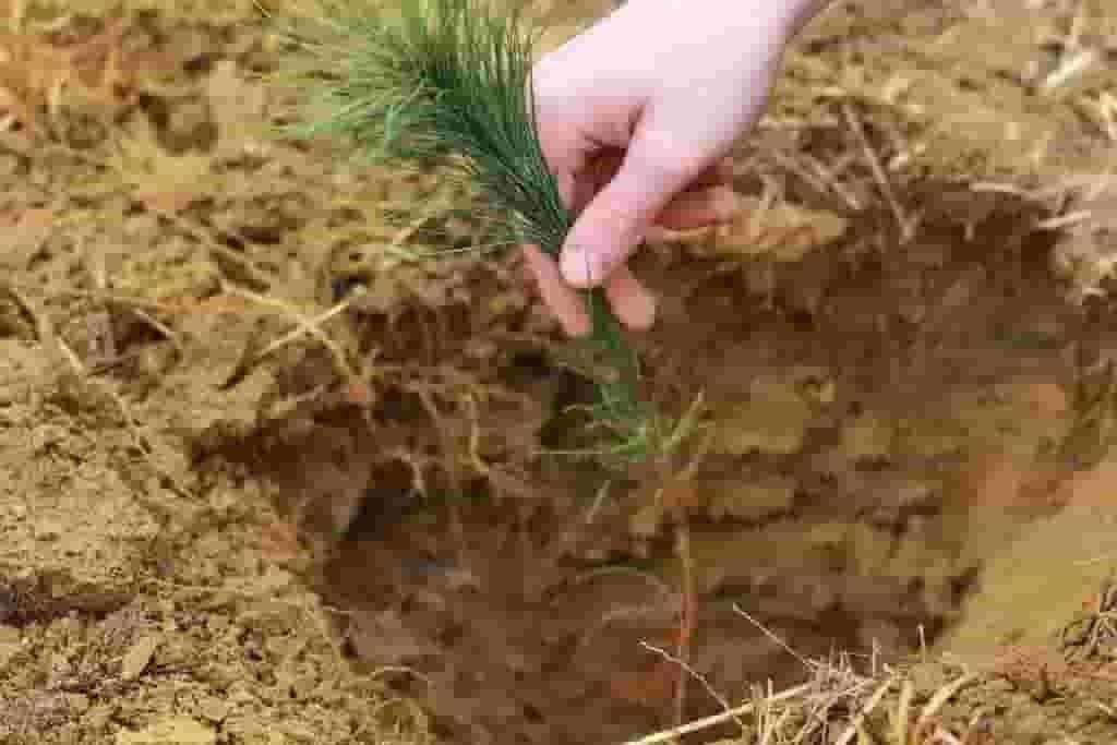 Christmas tree seedling